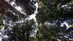 【画像】戸隠神社下から見上げる森林