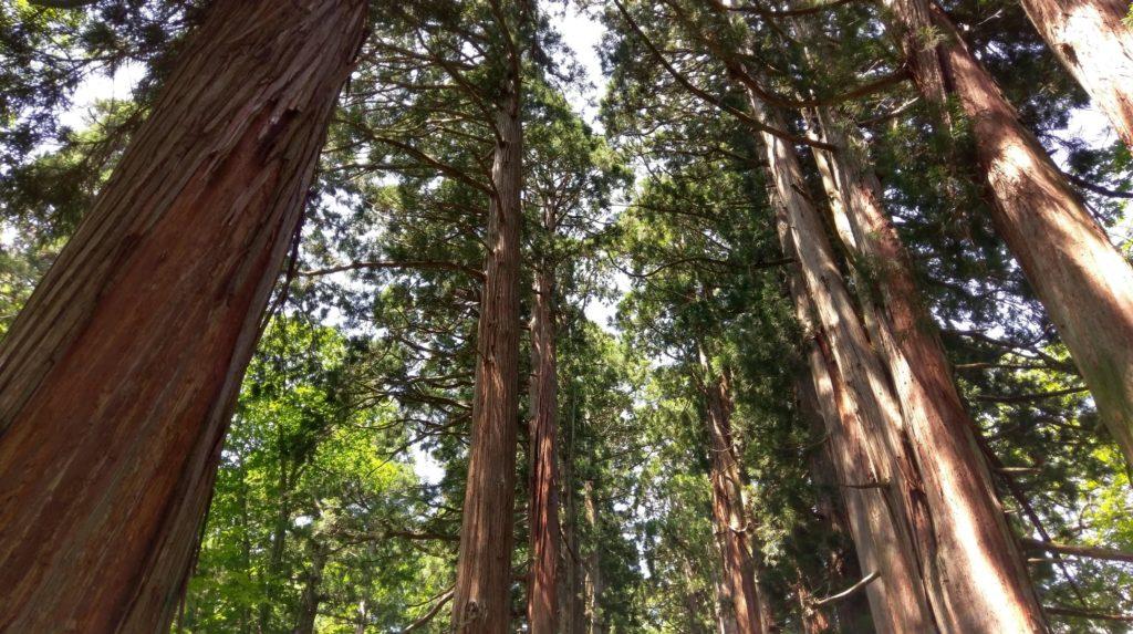 【画像】戸隠神社下から見上げる木