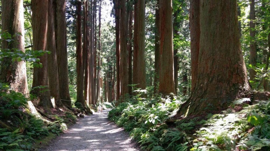【画像】戸隠神社の風情ある杉の木2 長野帰省記