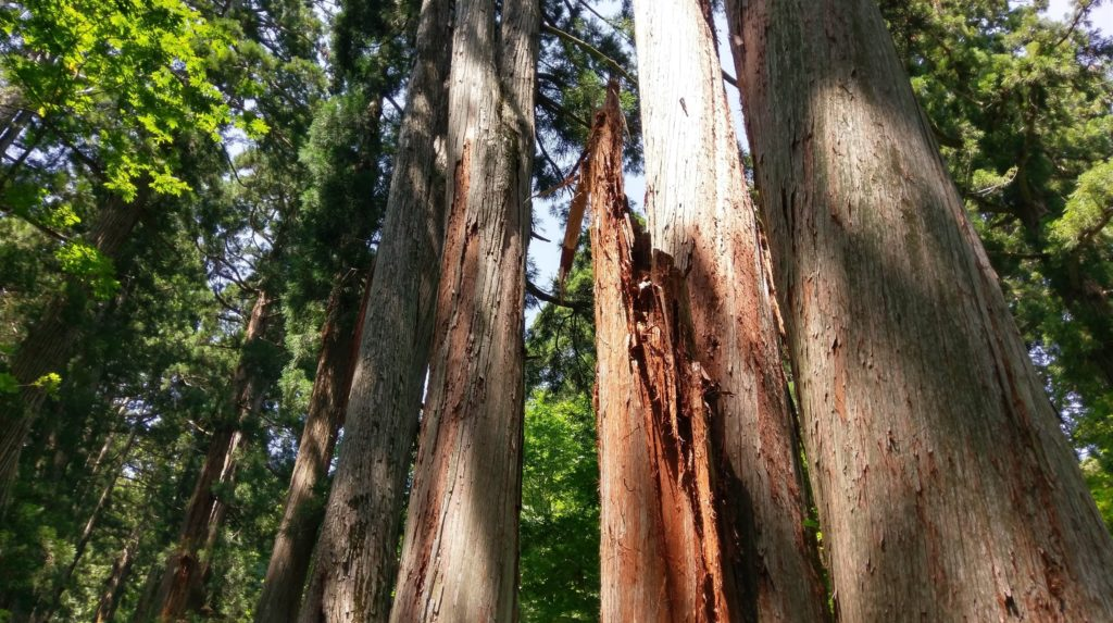 【画像】戸隠神社の木たち